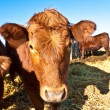 Friendly cattle on straw - Stock Photo