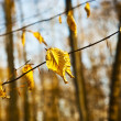 Golden leaves at the tree — Stock Photo