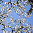 Close-up branch of bloom in spring — Foto de Stock