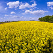 Yellow rape field in spring — Stock Photo #5522304