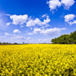 Yellow rape field in spring — Foto Stock