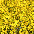 Yellow rape field in spring — Stock Photo #5522352