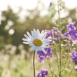 Beautiful daisies in morning lig — Stock Photo
