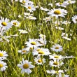 Beautiful daisies in morning light — Stock Photo