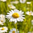Beautiful daisies in morning light — Stock Photo #5522718