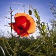 Poppy flower in meadow in morning light - Stock Photo