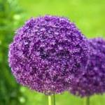 Beautiful flower in the garden — Stock Photo
