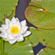 Japanese white lotus water lily — Stock Photo