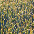 Stock Photo: Corn field with spicand structured spear