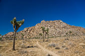 Nature in Joshua tree National Park — Stock Photo