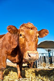 Friendly cattle on straw — Foto Stock