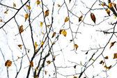 Jarní strom korun s staré listy — Stock fotografie