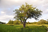 Tree in sunset and green grass — Stock Photo