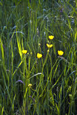 Field with corn and yellow butter flowers — Stock Photo