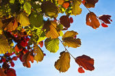 Beautiful leaves from a birch — Stock Photo