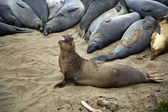 Male sealion at the beach — Stock Photo