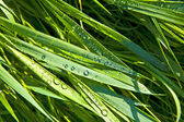 Green wheat grass with dewdrops — Stock Photo