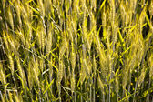 Spica of corn — Stock Photo