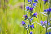 Sage flower in meadow — Stock Photo