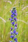 Sage flower in meadow — Stockfoto