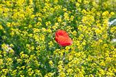 Tecavüz alanındaki haşhaş çiçeği — Stok fotoğraf