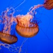Beautiful jelly fishes - Stock Photo