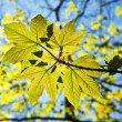 Leaves at a branch of the tree - Stock Photo