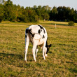 Holstein cows grazing on the meadow — ストック写真