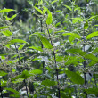 Green stinging nettle in detail — Stock Photo #5538375