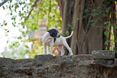 Baby dogs in temple area Wat Phra Si Sanphet — Stock Photo