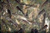 Peixe-gato no rio — Fotografia Stock