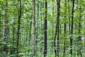 стволы в лесу — Стоковое фото