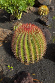 Beautiful ball cactus in Lapilli earth — Stock Photo