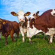 Friendly cattles on green granzing land are trusty - Stock Photo