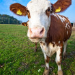 Friendly cattles on green granzing land are trusty - Foto Stock
