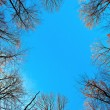 Crown of tree with blue sky — Stock Photo
