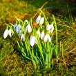 Snowdrops in the grass — Stock Photo #5551117