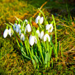 Snowdrops in the grass — Stock Photo