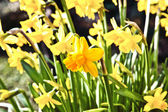 Yellow daffodils in the garden — Stock Photo