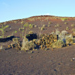 Vegetation in vulcanic area in Lanzarote - Stock Photo