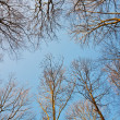 Stock Photo: Crown of trees with clear blue sky and harmonic branch structure