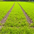 Tire Path In Field — Stock Photo #5616495