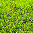 Green field with growing plants — Stock Photo #5616499