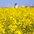 Stock Photo: Yellow rape field in spring