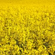 Yellow rape field in spring — Stock Photo