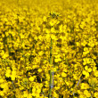 Yellow rape field in spring — Stock Photo #5616886