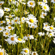 Beautiful daisies in morning light - Stock Photo