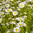 Stock Photo: Beautiful daisies in morning light