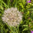 Beautiful blowball flower at the meadow — Stock Photo