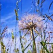 Beautiful blowball flower at the meadow - Foto Stock